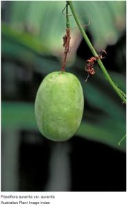 Passiflora Aurantia engraving