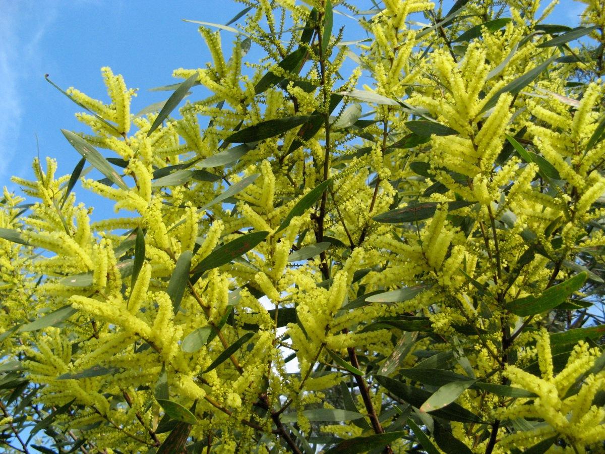 sydney golden wattle or yellow wattle